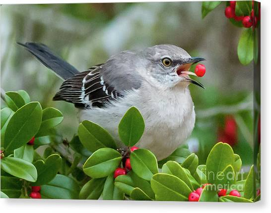 Mockingbird With Berry Canvas Print by Rebecca Miller
