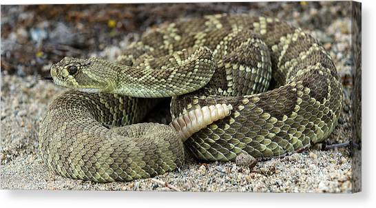 Poisonous Snakes Canvas Print - Mohave Green Rattlesnake 6 by Bob Christopher