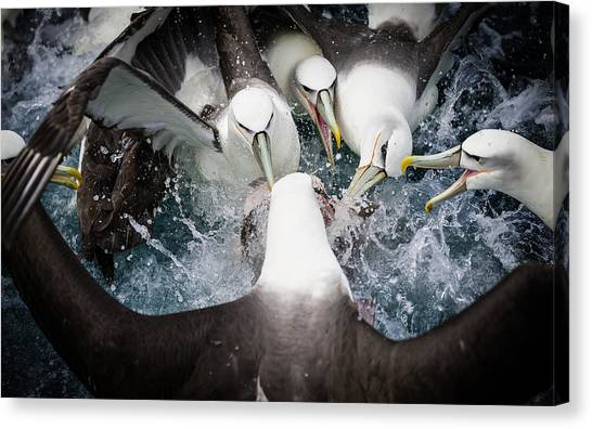 Albatrosses Canvas Print - Mollymawk Fight by Mark Bridgwater