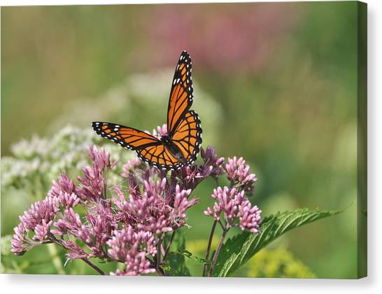 Monarch 1 Canvas Print
