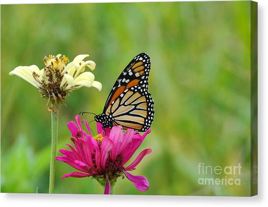 Monarch 10 Canvas Print