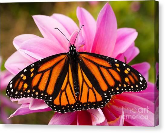 Monarch And Dahlia Canvas Print