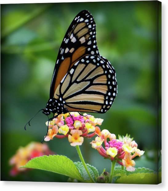Monarch Butterfly Art II Canvas Print