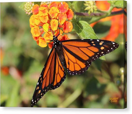 Monarch Butterfly On Orange Flower Canvas Print