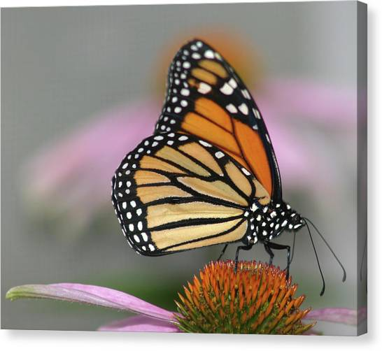 Butterflies Canvas Print - Monarch Butterfly by Wind Home Photography