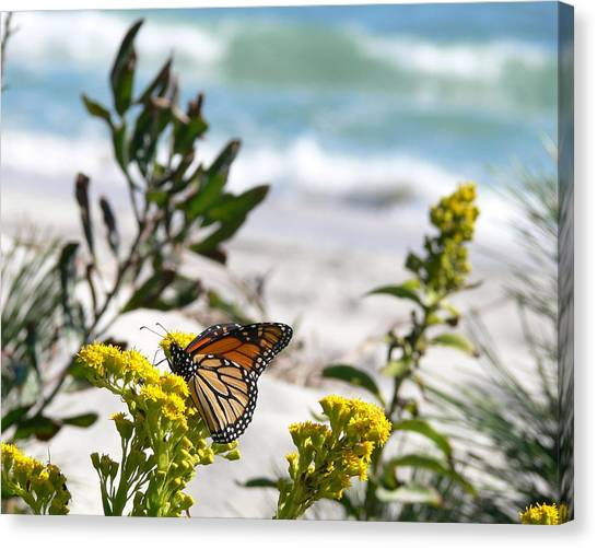 Monarch By The Sea Canvas Print by Tom LoPresti
