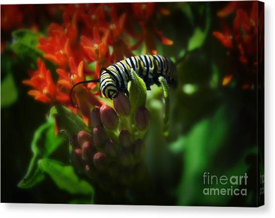Monarch Canvas Print by Fred Lassmann