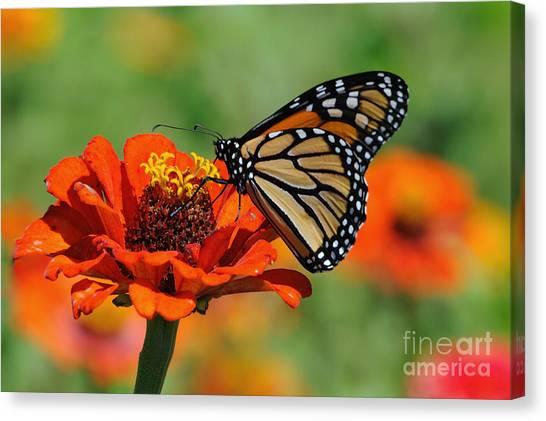Monarch Glow Canvas Print