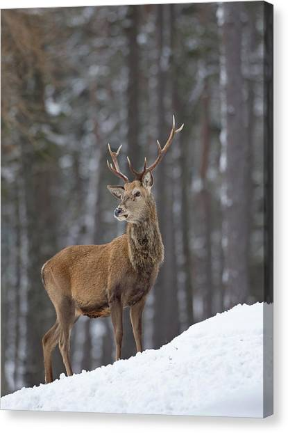 Monarch Of The Woods Canvas Print