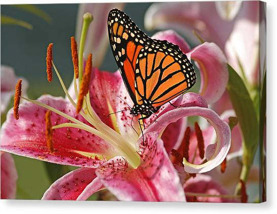 Lily Canvas Print - Monarch On A Stargazer Lily by Cindi Ressler