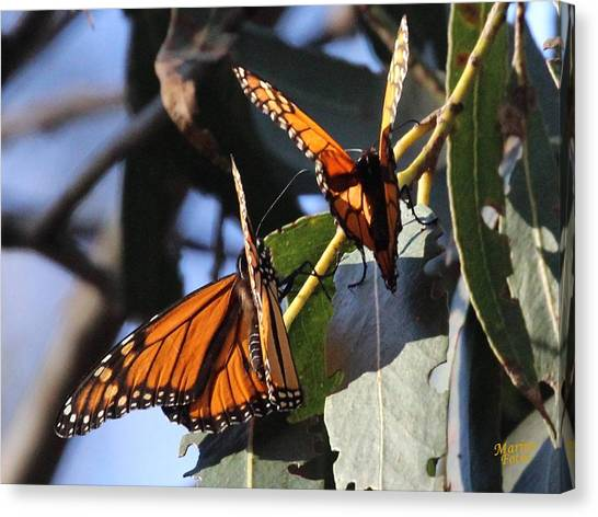 Monarch On Eucalyptus Canvas Print
