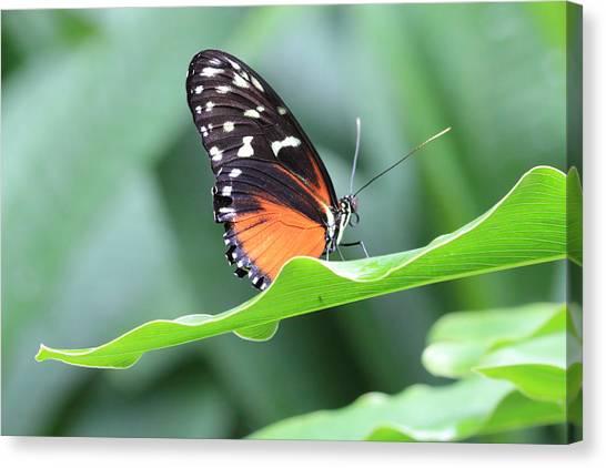 Monarch On Green Leaf Canvas Print