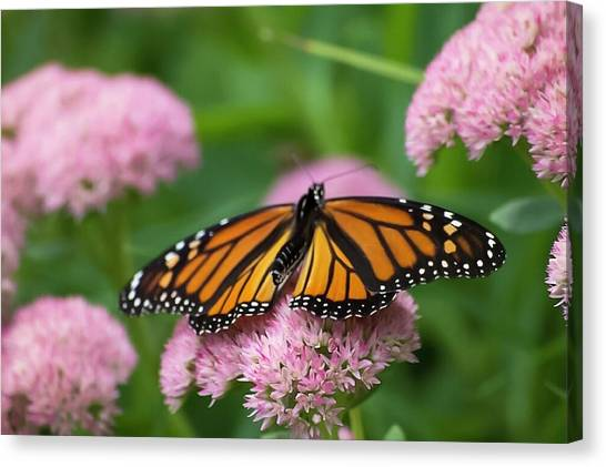 Monarch On Sedum Canvas Print