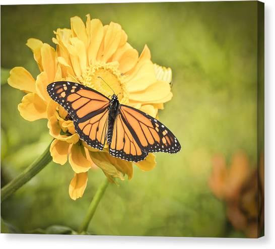 Monarch On Zinnia 5-2015 Canvas Print