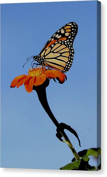 Monarch On Zinnia  Canvas Print