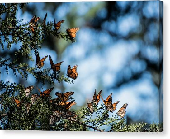 Monarchs In The Tree Canvas Print