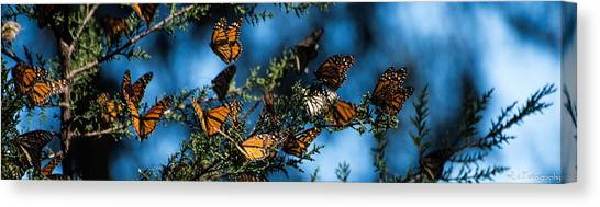 Monarchs Canvas Print