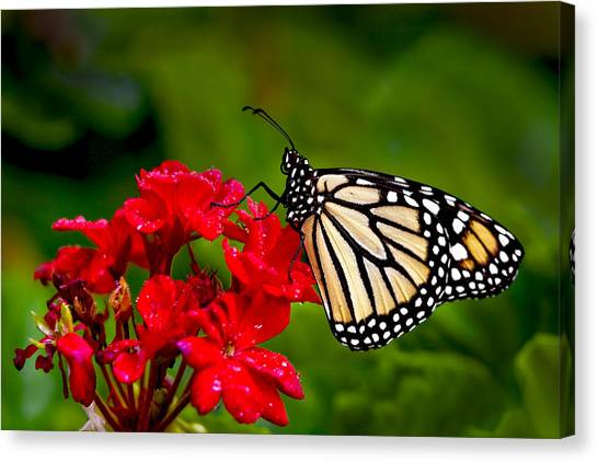 Monarh Butterfly Canvas Print