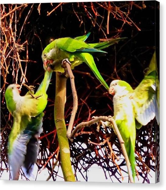 Parakeets Canvas Print - Monk Parakeet Sorting Out Some Dispute by Neodrax M W
