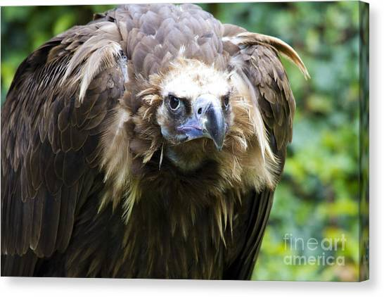 Monk Vulture 3 Canvas Print