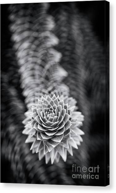 Chilean Canvas Print -  Monkey Puzzle Tree  by Tim Gainey