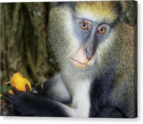 Monkey With His Mango Canvas Print