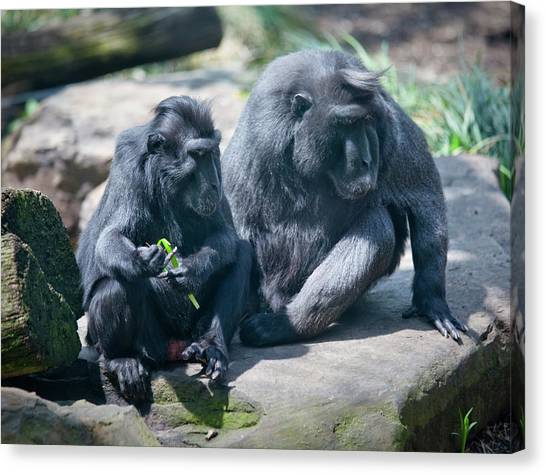 Monkeys Canvas Print by Christina Durity