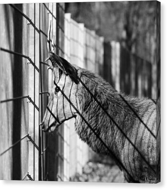 Large Mammals Canvas Print - #monochrome #canon #cage #blackandwhite by Mandy Tabatt
