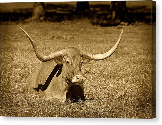 Monochrome Longhorn Cow Rsting In Grass Canvas Print