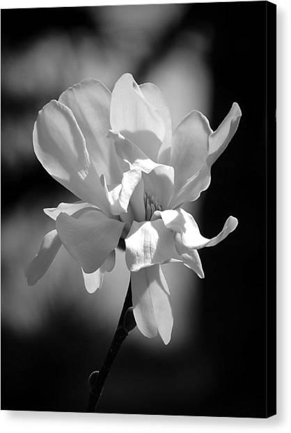 Monochrome Magnolia Canvas Print