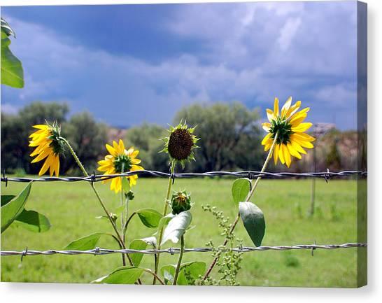 Monsoon Sunflowers Canvas Print by Heather S Huston