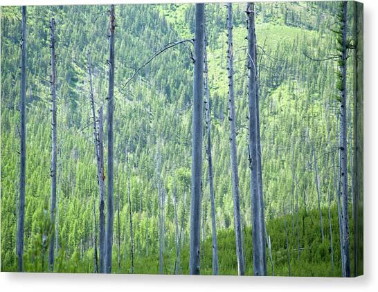 Montana Trees Canvas Print