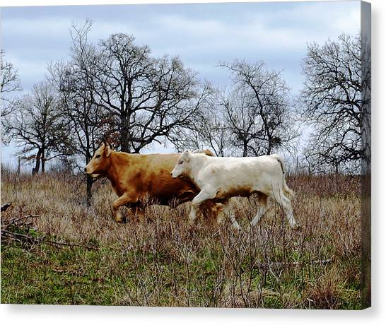 Moo On The Run Canvas Print by James Granberry