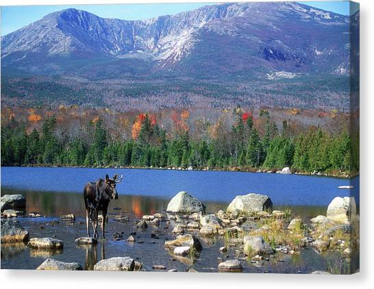 Moose And Mount Katahdin Canvas Print