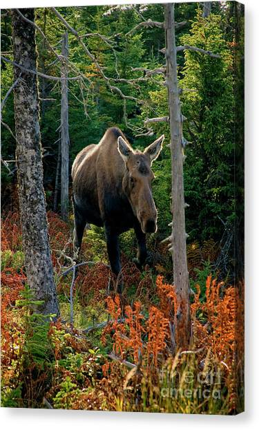 Moose In The Wild Canvas Print by Scott Kemper