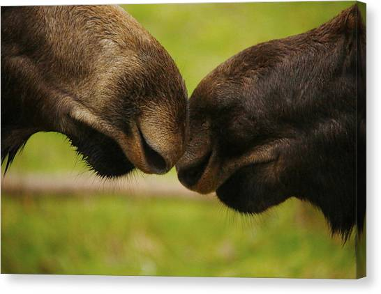 Moose Nuzzle Canvas Print