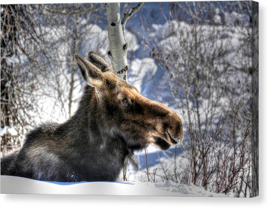 Moose On The Loose Canvas Print