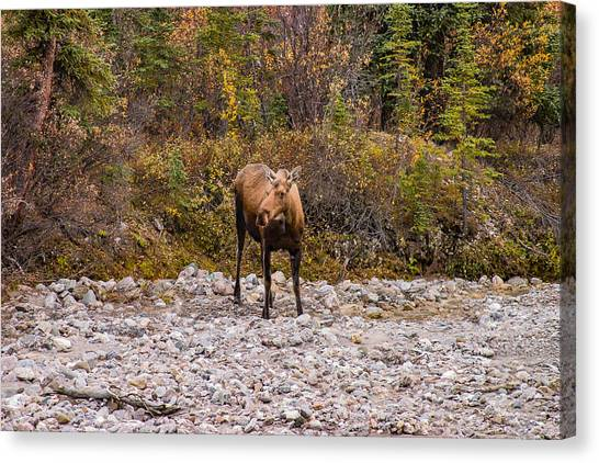 Wild Berries Canvas Print - Moose Pawses In Mid-drink by Jeff Folger