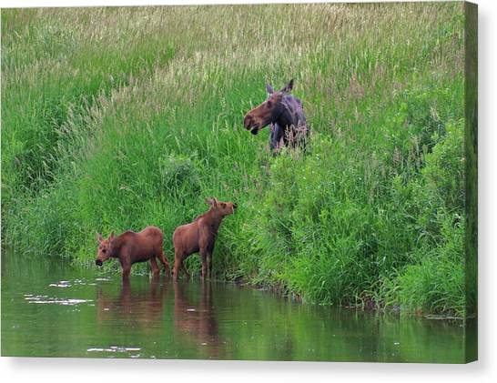 Moose Play Canvas Print