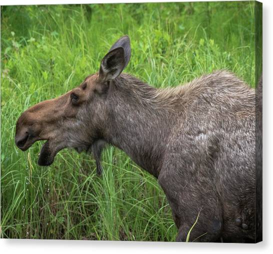 Moose Profile Canvas Print