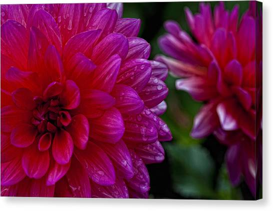 More Serious Magenta Canvas Print by Robert Ullmann