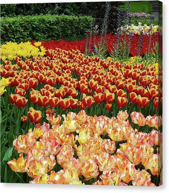More #tulip Goodness From #keukenhof Canvas Print by Dante Harker