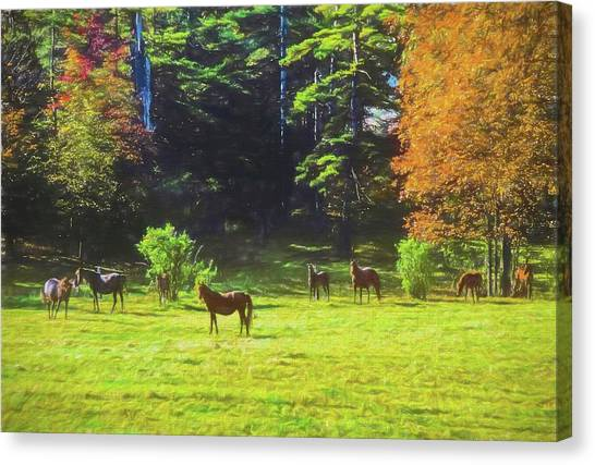 Morgan Horses In Autumn Pasture Canvas Print