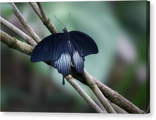 Great Mormon Butterfly Canvas Print