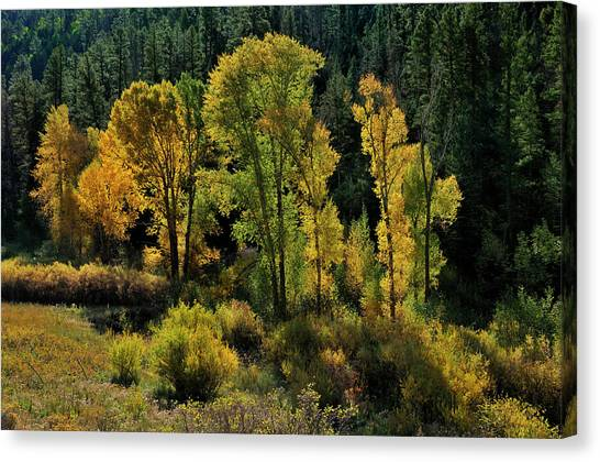 Morning Cottonwoods Canvas Print