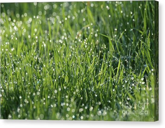 Morning Dew 1 Canvas Print