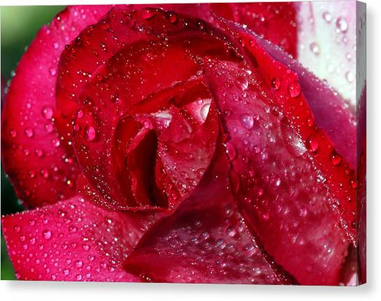 Morning Dew On Rose Canvas Print