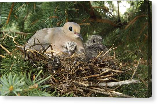 Morning Dove And Two Babys #2 Canvas Print