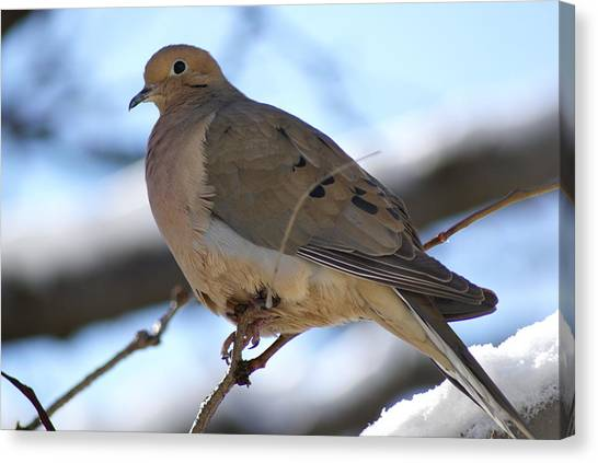Morning Dove Canvas Print by Patricia M Shanahan