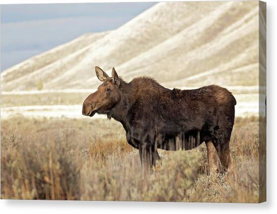 Morning Moose Canvas Print